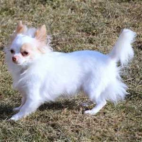 small dog breed list    tiny dogs pictures