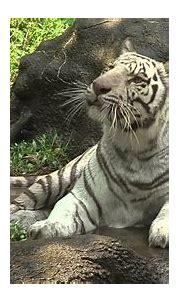 White Tiger Cooling in Water - Cincinnati Zoo - YouTube