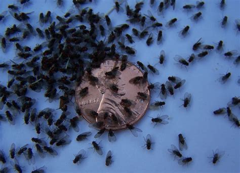 tiny  fly gnats   fit