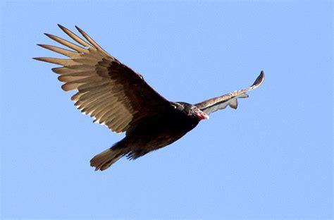 b i r d turkey vultures