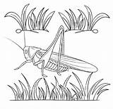Cricket Coloring Realistic Pages Insect Kid Funny sketch template