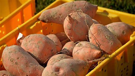 New: 2020 Sweet Potato Enterprise Budget   Agricultural ...
