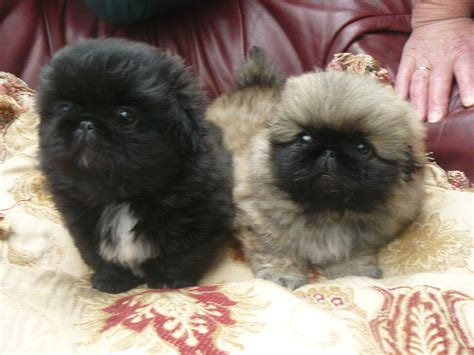 pekingese puppies  sale puppies  sale dogs