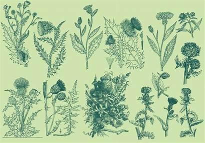 Thistle Vector Illustrations Botanical Graphics Clipart Vectors