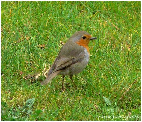 treknature the european robin photo