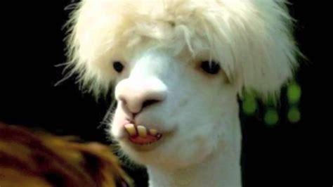 """The Bucktooth Llama"" István Hernek - YouTube"