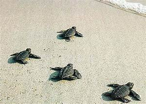 Baby Sea Turtles: The Journey of a Lifetime | Baby Animal Zoo