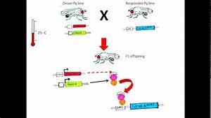 Gal4 Gal80 System In Drosophila