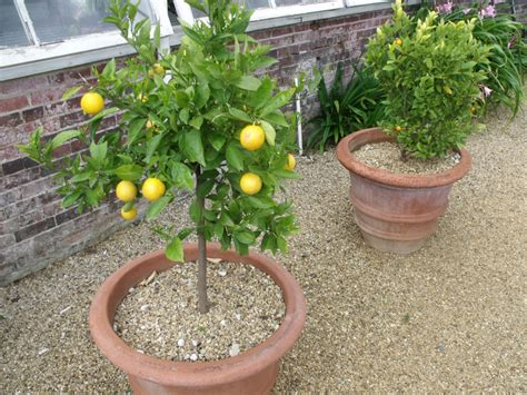 caring for lemon trees in pots how to grow a lemon tree in a cup healthy living style