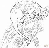 Possum Coloring Cuscus Printable Drawing Designlooter 1200 34kb 1184px sketch template