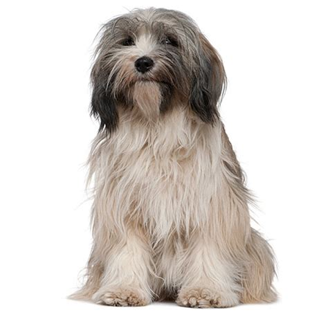 tibetan terrier see description and pictures of this dog