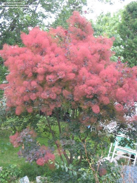 smoke tree plantfiles pictures smoke tree royal purple cotinus coggygria by memshin