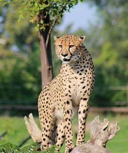 Discover The Cheetah