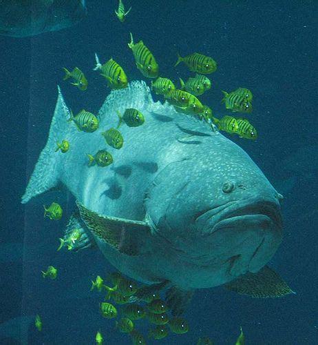 aquarium grouper atlanta fish uploaded