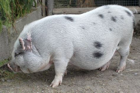 Pot-bellied Pig Information And Photos