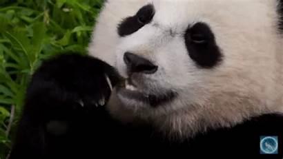 Bear Panda Bears Animated Cartoon Kawaii Gifs