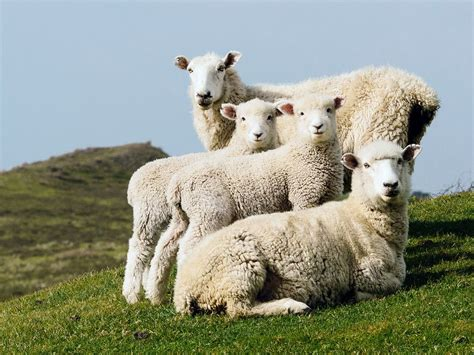 Sheep Portrait Image, New Zealand  National Geographic