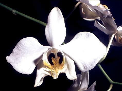phalaenopsis amabilis wikipedia