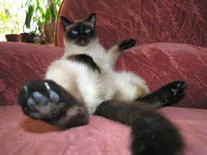 cats pictures siamese cats 95 pictures cat dompict