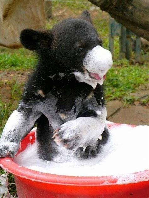 black bears voices  russia