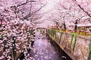 La fioritura dei ciliegi in Giappone previsioni e