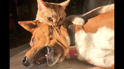 funny cat  dog vines funny cats bite dogs compilation