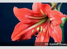 Amaryllis Barbados Lily Hippeastrum puniceum
