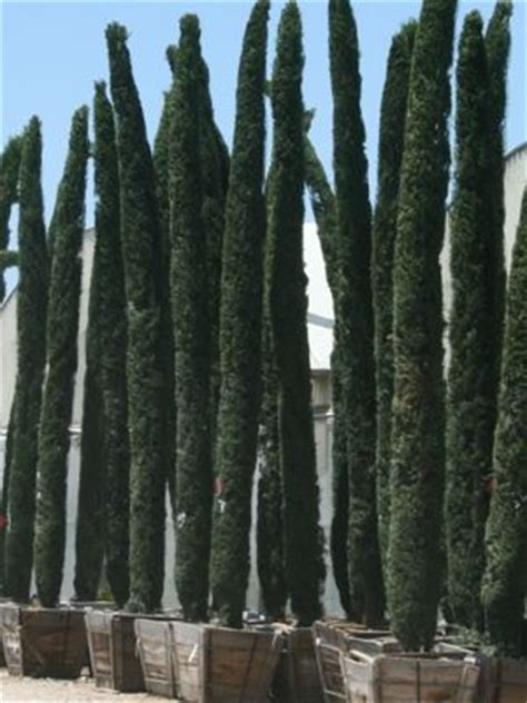 cupressus sempervirens monshel the most elegant cupressus sempervirens italian cypress monshel is a dwarf variety and
