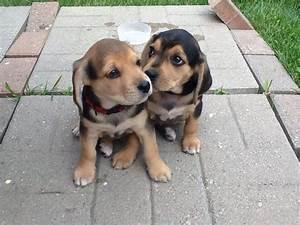 The Beagle & Lab mix (A.K.A. Beagador): Fun, playful with ...