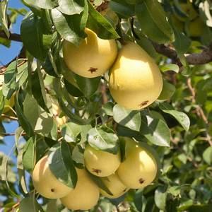 Kieffer Pear Tree for Sale Fast Growing Trees