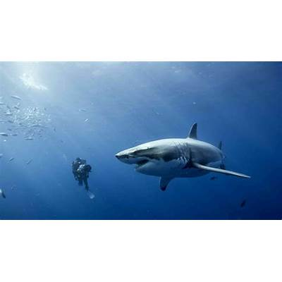 Important Facts About Great White Sharks · Guardian
