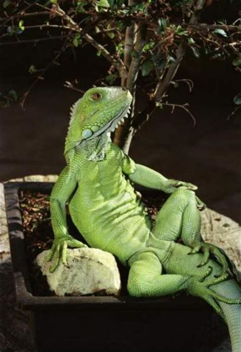 iguana lizard sit   humans general information