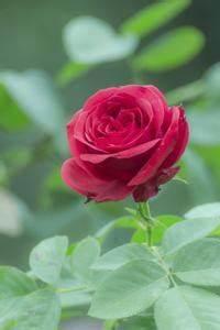 Comment Faire Secher Une Rose : comment faire pour conserver une fleur rose ~ Melissatoandfro.com Idées de Décoration