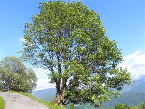 Salix caprea=Saule Marsault - Botanique Marthod 022   Flickr