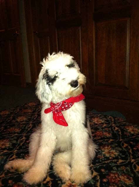 sheepadoodle old english sheepdog standard poodle mix
