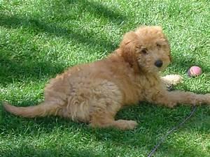 F1b Mini Goldendoodle Full Grown - Goldenacresdogs.com