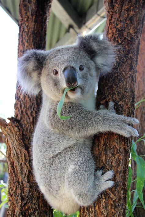 kissing koalas  taronga zoo zooborns