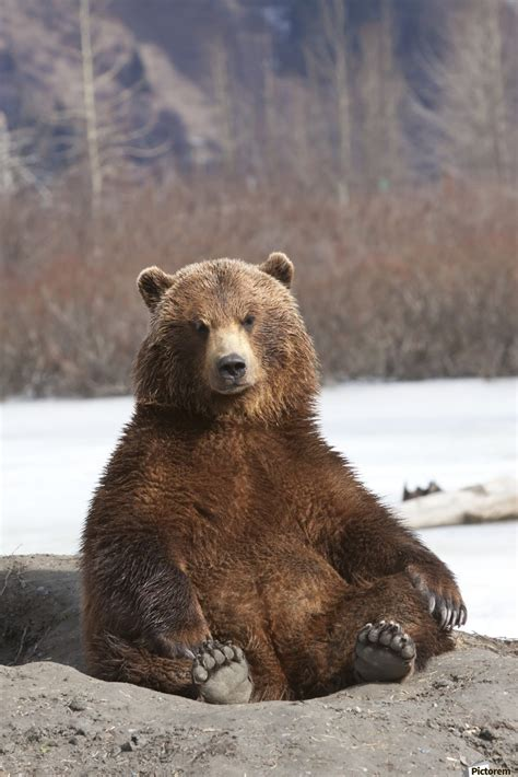 Brown Bear Sitting