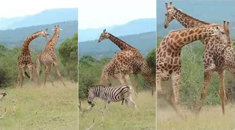 WATCH: Are giraffes gentle? This epic fight between two ...