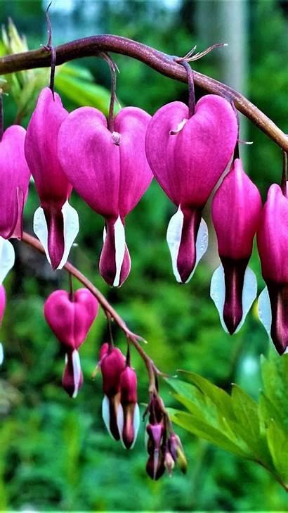 Bleeding Heart Flowers Android Flower Galaxy Samsung