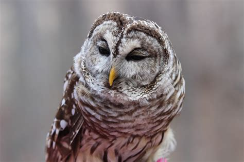 whooo is that owls in indiana wildindiana com