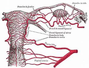 Uterine Artery