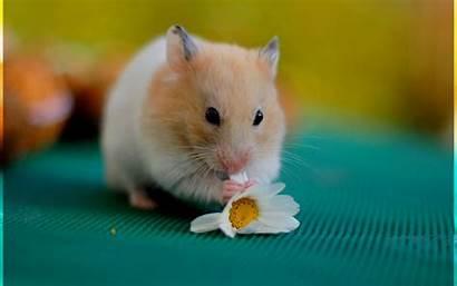Hamster Wallpapers Wallpapersafari