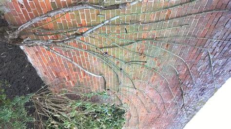 climbing pruning pruning climbing roses andrew peters