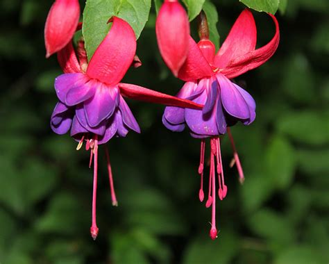 fuscia flowers fuschia flowers flickr photo sharing