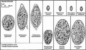 Life History Of The Blood Fluke  Schistosoma Sp