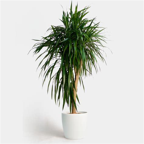 for indoor walls dracaena care greenery nyc
