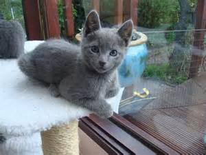 russian blue cat breeders adorable russian blue kittens broxbourne hertfordshire