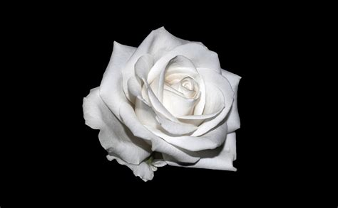 rose white background  photo  pixabay
