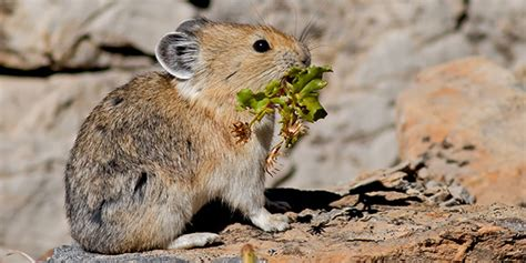 American Pika National Wildlife Federation
